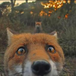 Shy Fox 🎀
